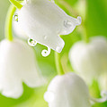 Lily Of The Valley by Boon Mee