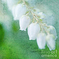 Lily Of The Valley by Kim Fearheiley