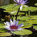 Lily Pad by Debby Richards