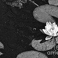 Lily Pad In Bloom by Juanita Doll