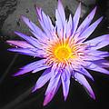 Lily Pad In Bloom by Melinda Baugh