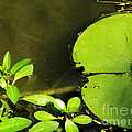 Lily Pad by Robyn King