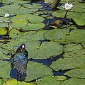 Lily Pad With Bird2 by Jacquelinemari
