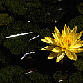 Lily Pad by Xavier Cardell