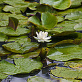 Lily Pads by Bill Cannon