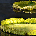 Lily Pads by GK Hebert Photography