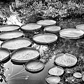 Lily Pads by Howard Salmon