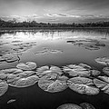 Lily Pads In The Glades Black And White by Debra and Dave Vanderlaan