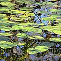 Lily Pads In The Swamp by Carol Groenen