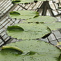 Lily Pads With Reflection Of Conservatory Roof by Carol Groenen