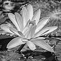 Lily Petals - Bw by Carolyn Marshall