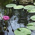Lily Pond by Irina Davis
