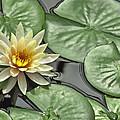 Lily Pond by Rich Stedman