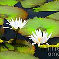 Lily Pond Bristol Rhode Island by Tom Prendergast