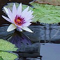 Lily Purple And White by Eric  Schiabor