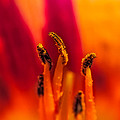 Lily Stamen by Paul Freidlund