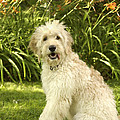 Lily The Goldendoodle With Daylilies by Anna Lisa Yoder
