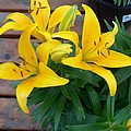 Lily Yellow Flower by Eric  Schiabor