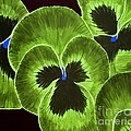 Lime Green Pansies by Barbara Griffin