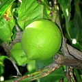 Lime by Tim Vernon / Science Photo Library
