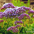 Limonium - Statice by Artist and Photographer Laura Wrede
