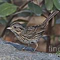 Lincolns Sparrow by Anthony Mercieca