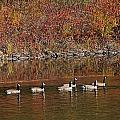 Line Of Geese On The Quinapoxet River by Michael Saunders