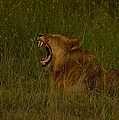 Lion   #1050 by J L Woody Wooden