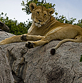 Lion   #1646 by J L Woody Wooden