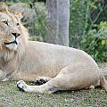 Lion Around by Mitchell Rudin