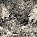 Lion Brothers by Chris Scroggins