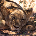 Lion Close Up by Davide Guidolin