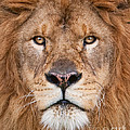 Lion Close Up by Jerry Fornarotto