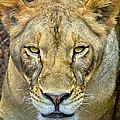 Lion Closeup by David Millenheft