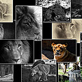 Lion Collage by Thomas Woolworth