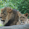 Lion Couple by Richard Bryce and Family