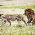 Lion Couple by Timothy Hacker