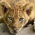 Lion Cub by Bill Dodsworth