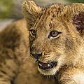 Lion Cub Close Up by Bill Dodsworth