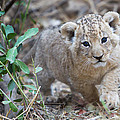 Lion Cub by Max Waugh