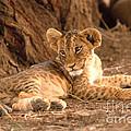 Lion Cub Panthera Leo by David Davis