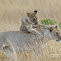 Lion Cub Playing With Female Lion by John Shaw