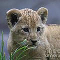 Lion Cub by Steve McKinzie