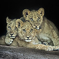 Three Lion Cubs by Linda D Lester