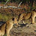 Lion Cubs Of Zimbabwe  by Pixabay