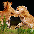 Lion Cubs Playing In The Grass by Nick  Biemans