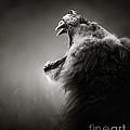Lion Displaying Dangerous Teeth by Johan Swanepoel
