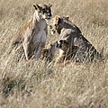 Lion Family by Adam Beaney