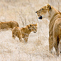 Lion Family by Max Waugh