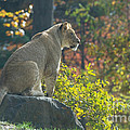 Lion In Autumn by Chris Scroggins